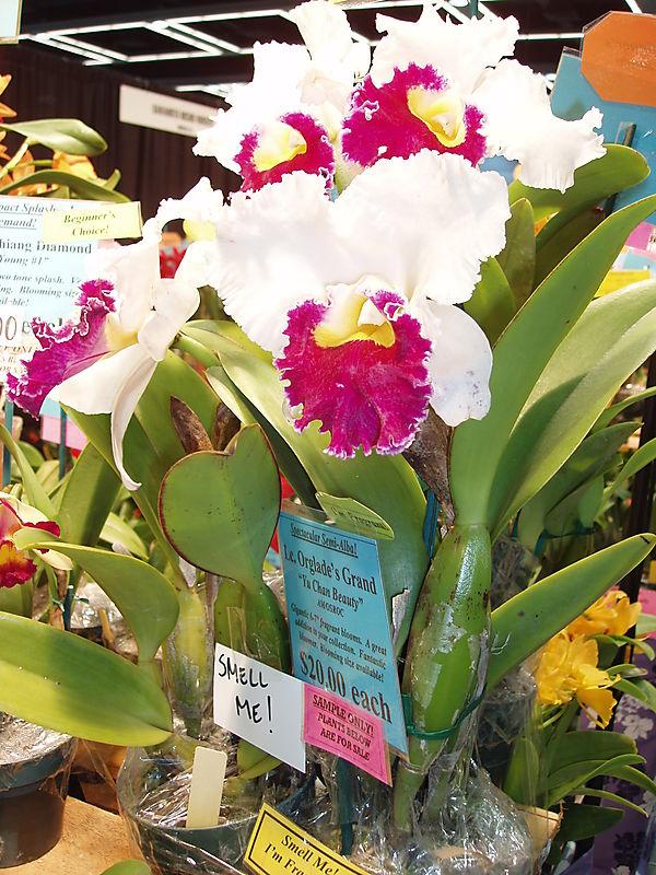 Le Orglades Grand Orchid